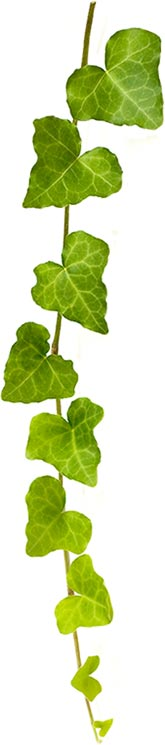English Ivy Vine