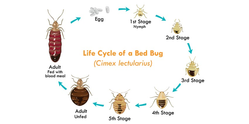 lifecycle of bed bugs